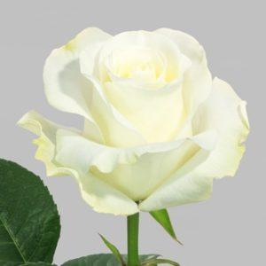 Розы сорта Nieve оптом из Эквадора